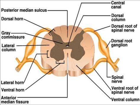 Spinal nerve.jpg