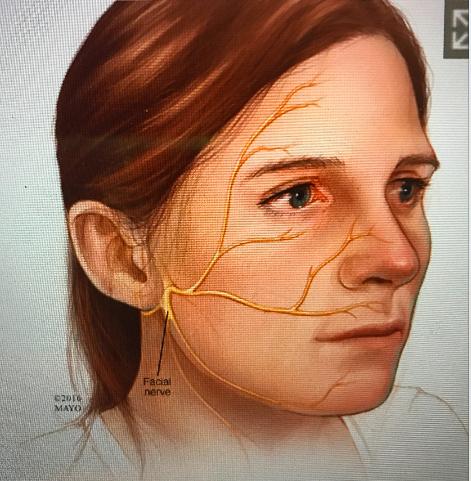 facial nerve 1.png
