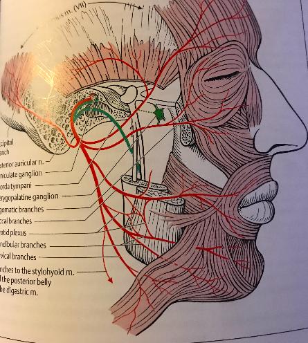 facial nerve 2
